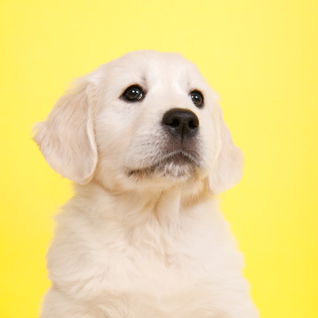 retreiver: Puppy Golden Retreiver on yellow background