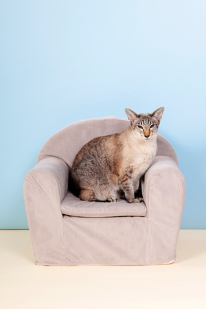 blue siamese cat: Siamese cat in little chair on blue background Stock Photo