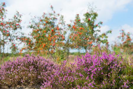 sorbus: Macro of purple heather flowers in nature with Sorbus trees and berries  Stock Photo