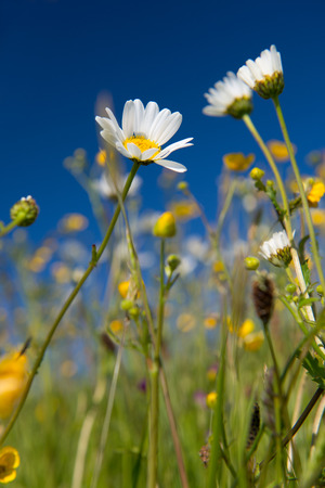 buttercups: Wild daisies and butter cups in summer with blue sky
