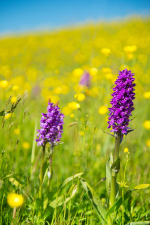 buttercups: Purple wild orchid on Dutch wadden island Texel