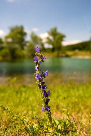 water thyme: Tomillo p�rpura salvaje en el paisaje Foto de archivo