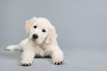 retreiver: Puppy Golden Retreiver on gray background
