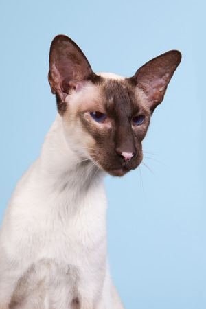 blue siamese cat: Seal point Siamese cat with blue eyes on blue background Stock Photo