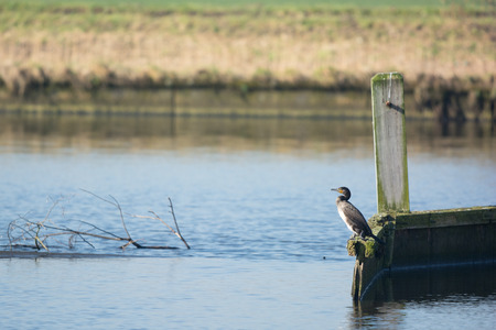 eem: Great Cormorant on pole at te Dutch river Stock Photo