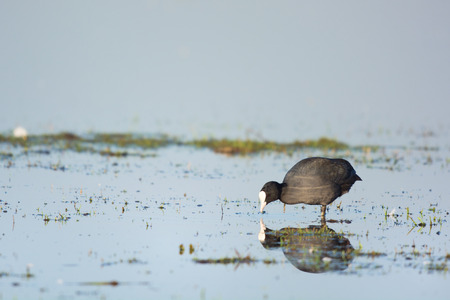 coot: eurasian coot wading in water