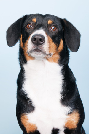 sennenhund: Portrait of an Entlebucher Sennenhund on blue background Stock Photo
