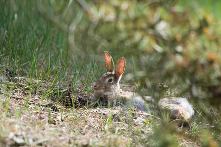 european rabbit: Common European rabbit in sand dunes at wadden island Texel