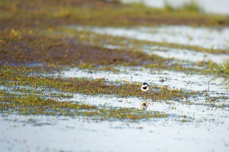 White wagtail in nature photo