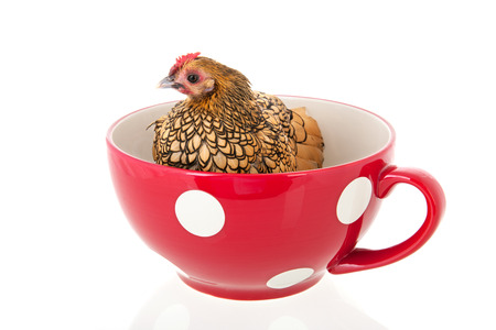 Bantam chicken in big red soup bowl isolated over white background photo