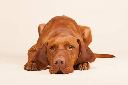 pure breed: Hungarian or Magyar Vizsla isolated over cream background