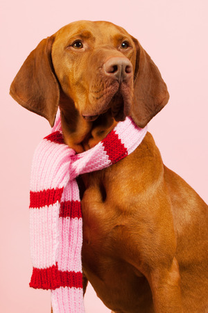 magyar: Hungarian or Magyar Vizsla dressed for the winter isolated over blue background Stock Photo
