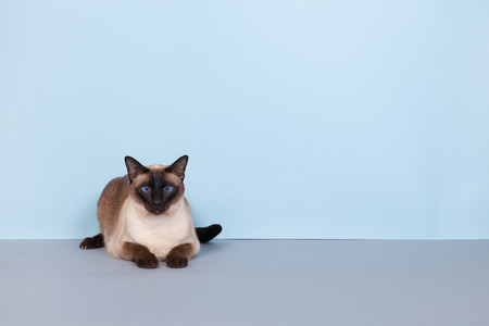blue siamese cat: Seal point Siamese cat with blue eyes on gray background