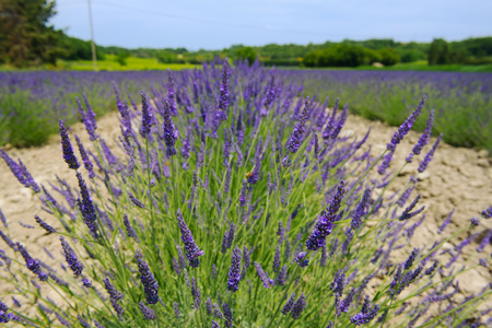 luberon: Lavender fields in landscape of  French Luberon