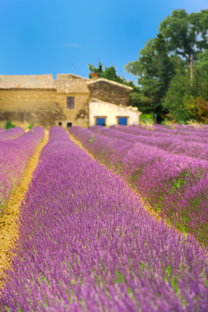 the luberon: Lavender fields in landscape of  French Luberon