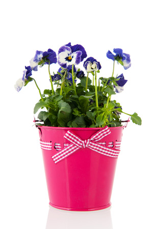 Blue pansy plant with flowers in pink pot photo