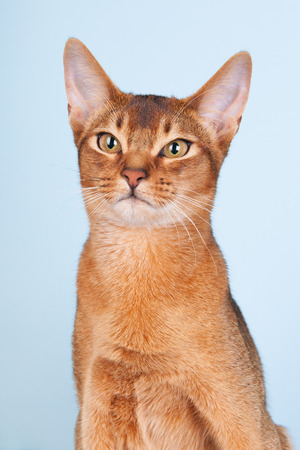Portrait of an Abyssinian cat on blue background photo