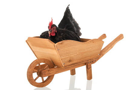 Chicken resting in wheel barrow isolated over white background photo