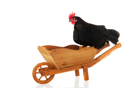 Chicken resting on wheel barrow isolated over white background photo
