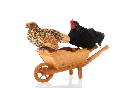 Chickens resting on wheel barrow isolated over white background photo