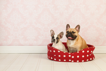 Two French bulldogs in red dotted basket in vintage room photo