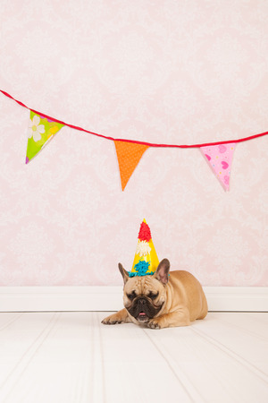 French bulldog is having birthday in room with vintage wallpaper photo