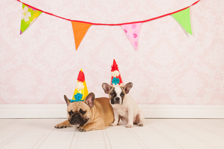 Two French bulldogs are having birthday in room with vintage wallpaper photo