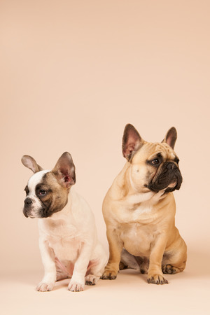 argues: French bulldogs laying in studio on pastel color beige background