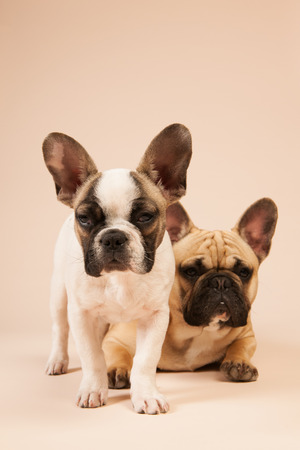lazyness: French bulldogs laying in studio on pastel color beige background
