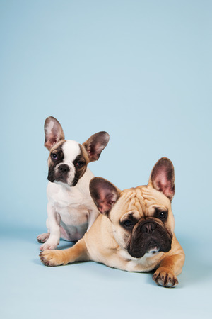 lazyness: French bulldogs laying in studio on pastel color blue background