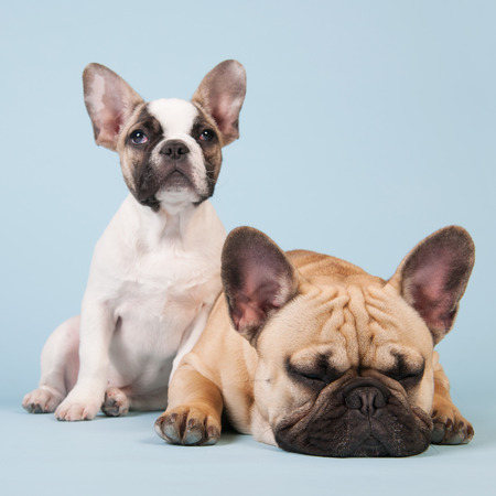 lazyness: French bulldogs together in studio on pastel color blue background