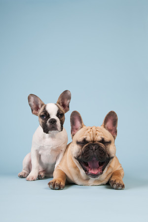gaping: French bulldog dogs in studio on pastel color blue background