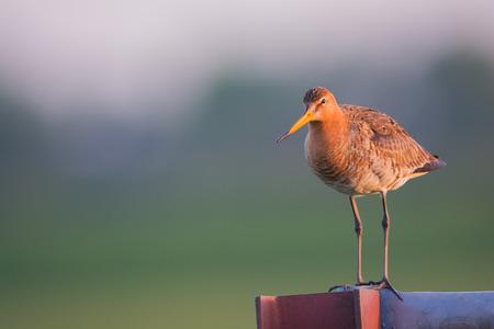 Black-tailed Godwit on pole in sunrise photo