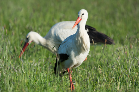 couple storks in the Dutch Eempolder