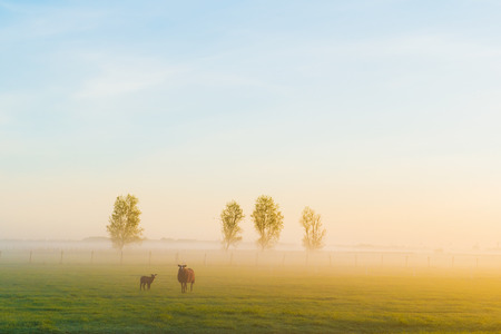 eempolder: Some sheep standing in the morning at sunrise