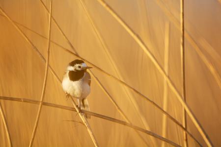 eempolder: Female Bluethroat in reed while sunrise
