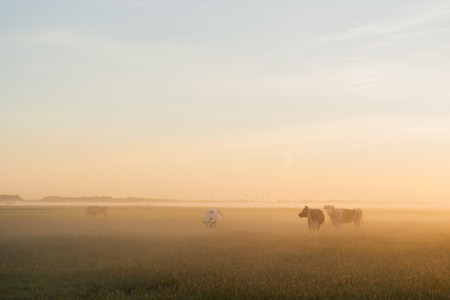 Some cows standing in the morning at sunrise Stock Photo
