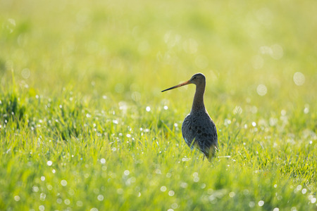 eempolder: Black-tailed Godwit in grass