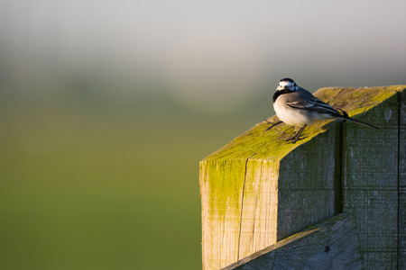 White wagtail outdoor on wooden pole with moss photo