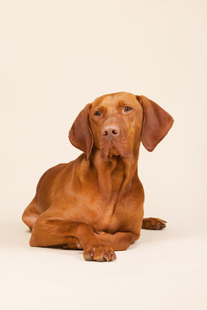 Hungarian or Magyar Vizsla isolated over cream background photo