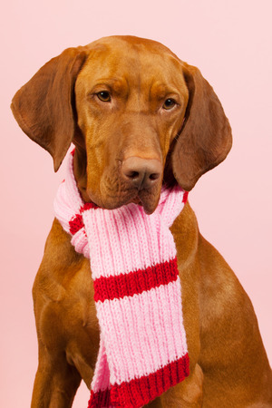 Hungarian or Magyar Vizsla dressed for the winter isolated over blue  photo
