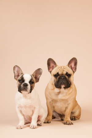 French bulldogs laying in studio on pastel color beige  photo
