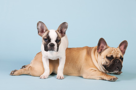 lazyness: French bulldogs together in studio on pastel color blue  Stock Photo