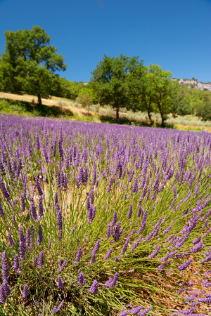 the luberon: Landscape in French Luberon with mountains and lavender