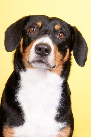 sennenhund: Ritratto di un Sennenhund Entlebucher su giallo colorato
