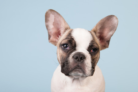 French bulldog puppy in studio on pastel color blue  photo
