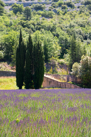 the luberon: Cypress and Lavender in French Luberon