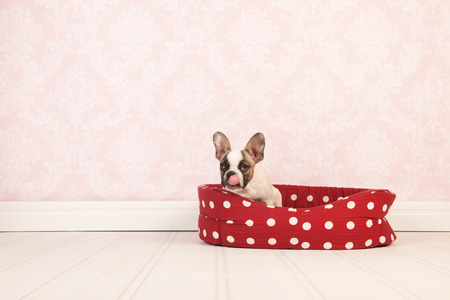 Little French bulldog puppy with its tongue out  in red basket in room with vintage wallpaper photo
