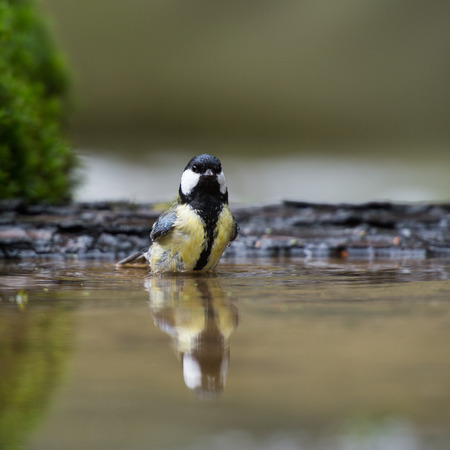 Great tit taking a bath in lake photo