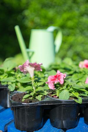 solanaceae: Tray Petunias for the summer garden Stock Photo